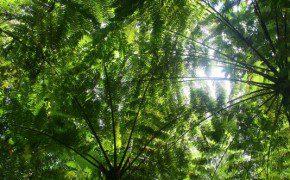 Viele endemische Pflanzen, wie Riesenfarne und Riesenbambus