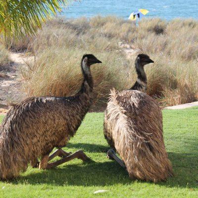 Australien, Emus