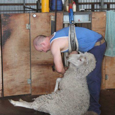 Schafe scherren in Australien