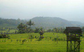 Saftige Reisfelder gibt es in den Bergen auf 1000m Höhe immer noch!