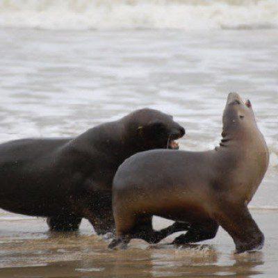 Neuseeland Seeloewen