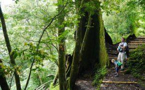 Faszinierende Brettwurzeln an den Wasserfällen Los Chorros