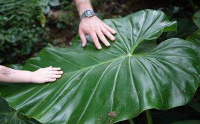 Riesenblatt im Botanischen Garten